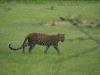 leopard-five